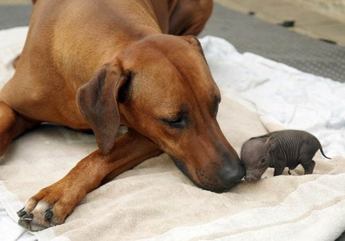 Anjing jaga anak babi