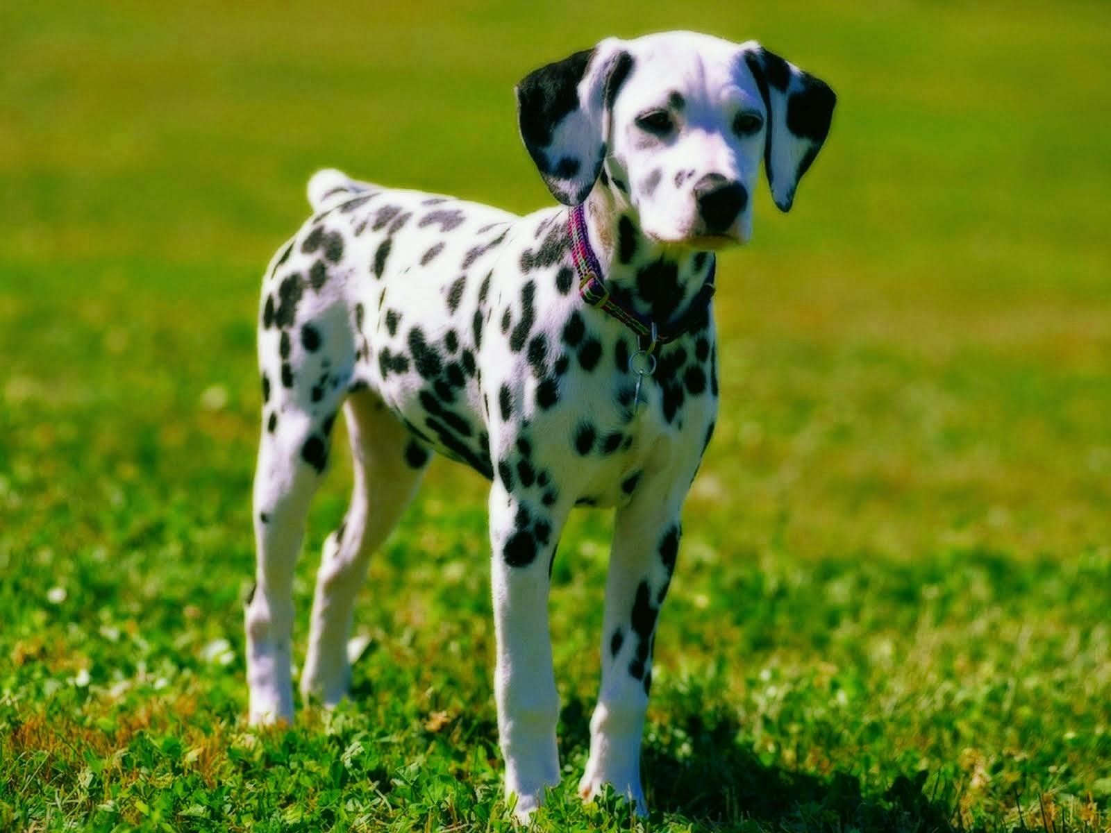 gambar anjing dalmatians nama hewan dari huruf D