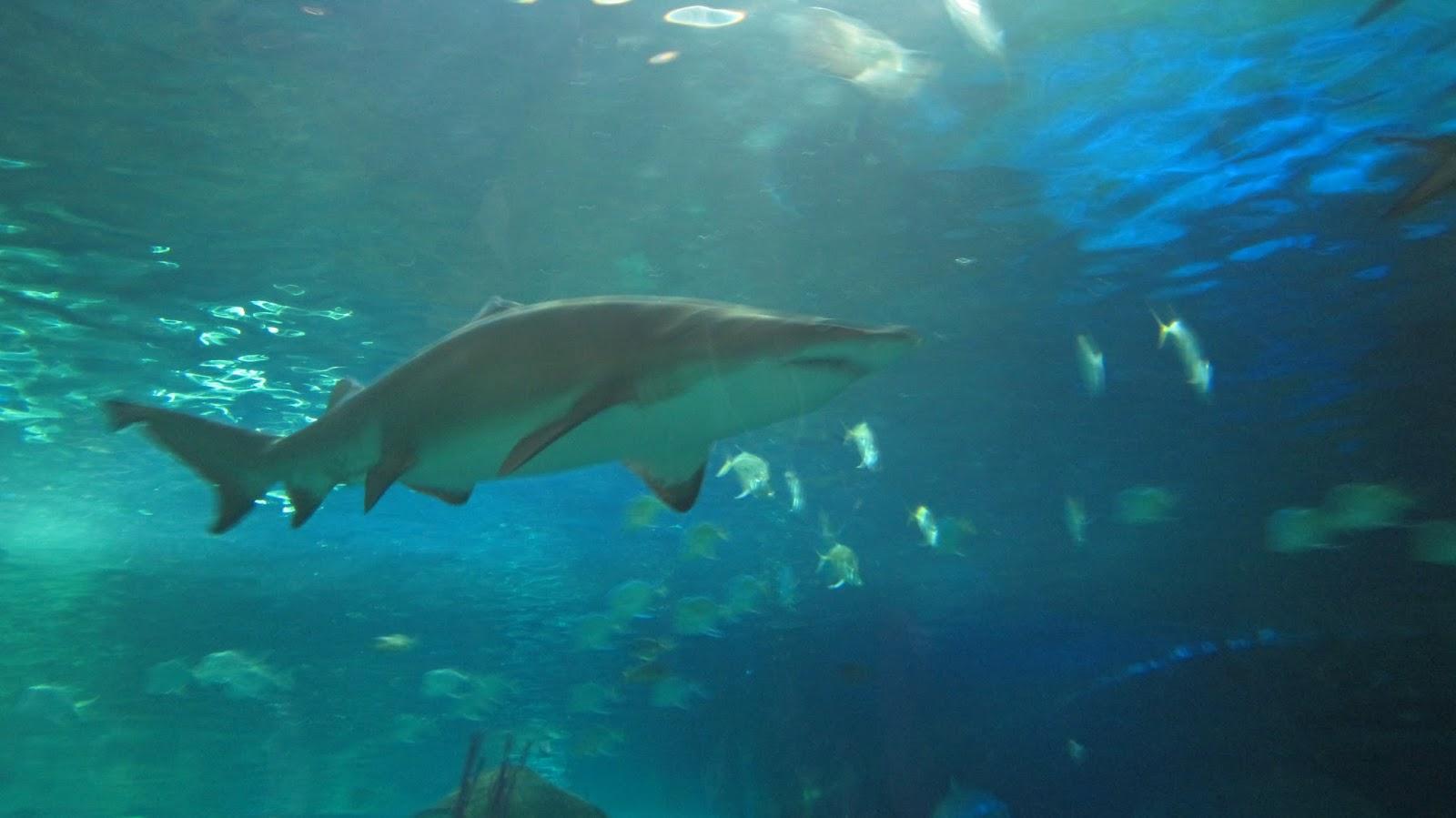 shark ripley's aquarium canada