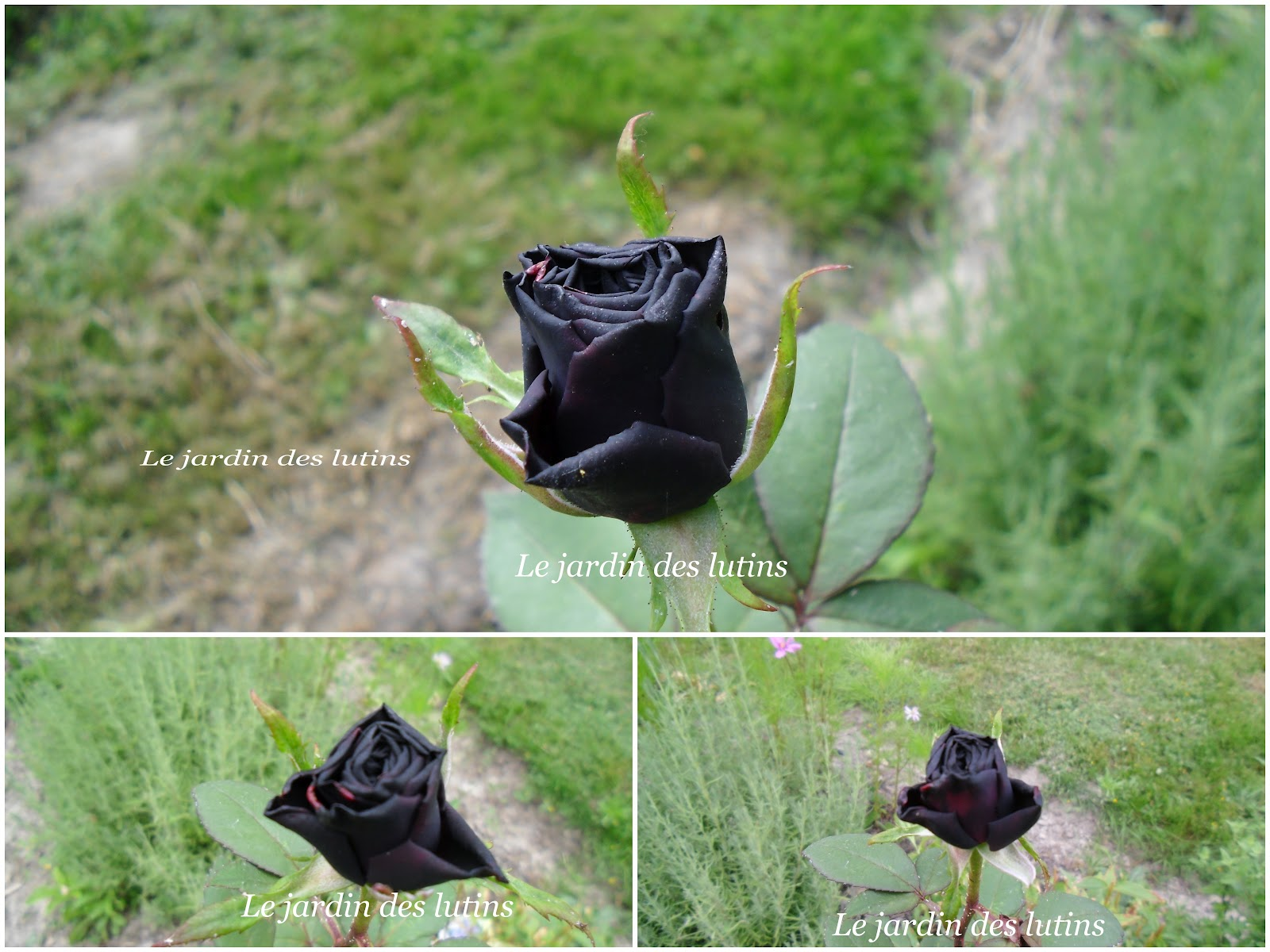 Acheter Des Roses Noires le jardin de roses noires – groupe sister