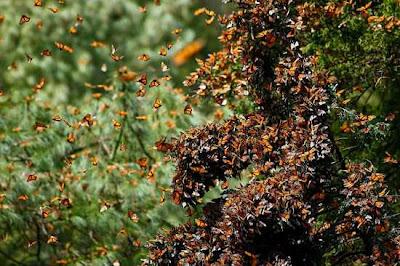 monarch butterfly migration 4 Fenomena Alam yang Menakjubkan