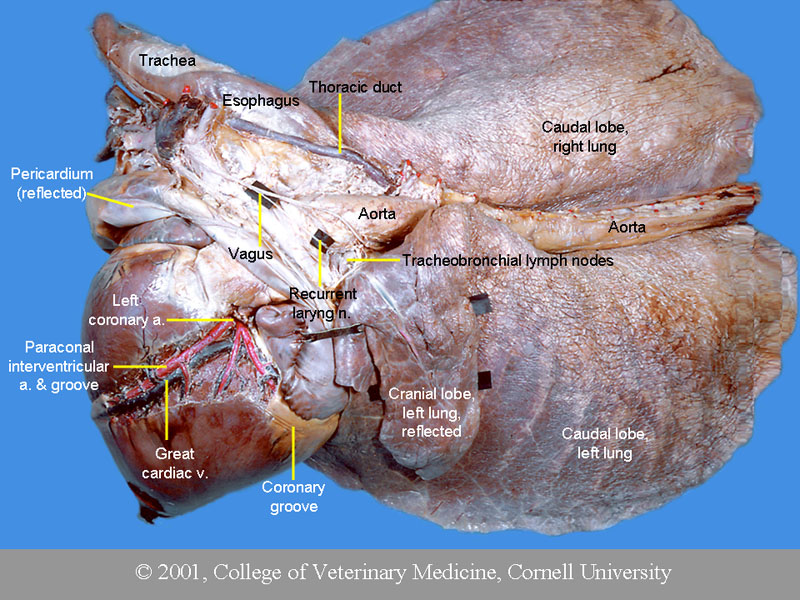 Vet Blog Cardiovascular System