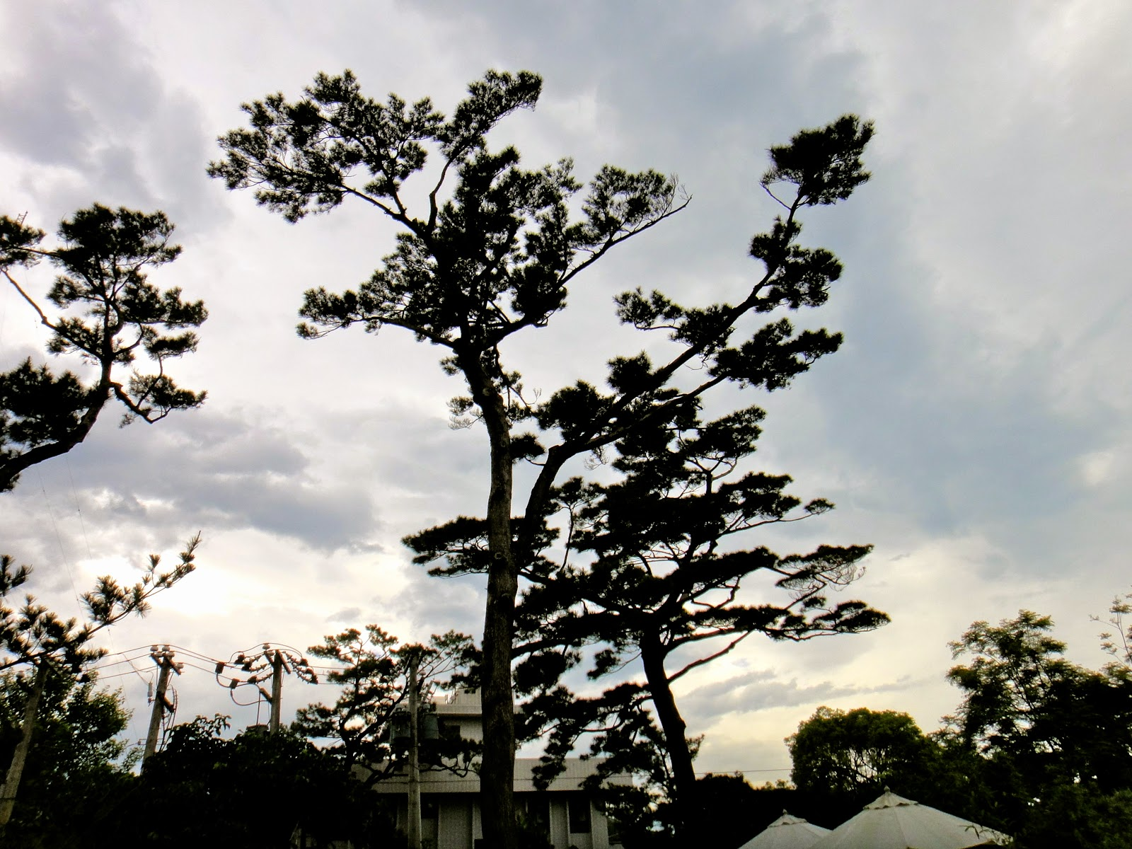 Pine Trees at Pine Garden Taiwan