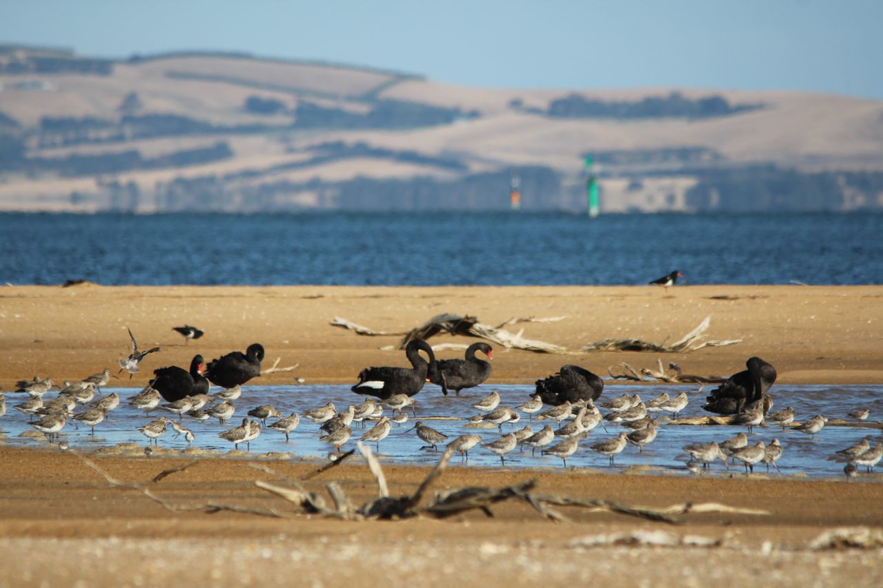 black singles in curlew A massive flock of over 150 black-tailed godwits and 100+ curlew fed in  curlew, oysercatcher and snipe, with singles of  - wales- north wales and anglesey.