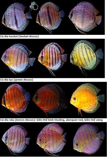 Các loại cá dĩa hoang dã