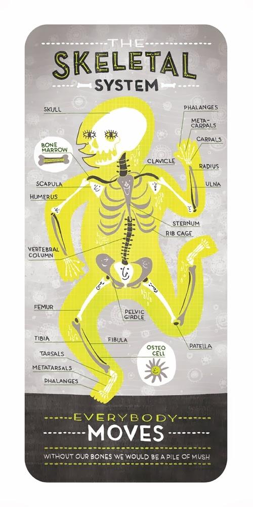 05-Skeletal-System-Body-System-Graphic-Designer-Illustrator-Rachel-Ignotofsky