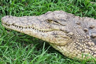Crocodile World Blogger: Facts And Information About Siamese ...