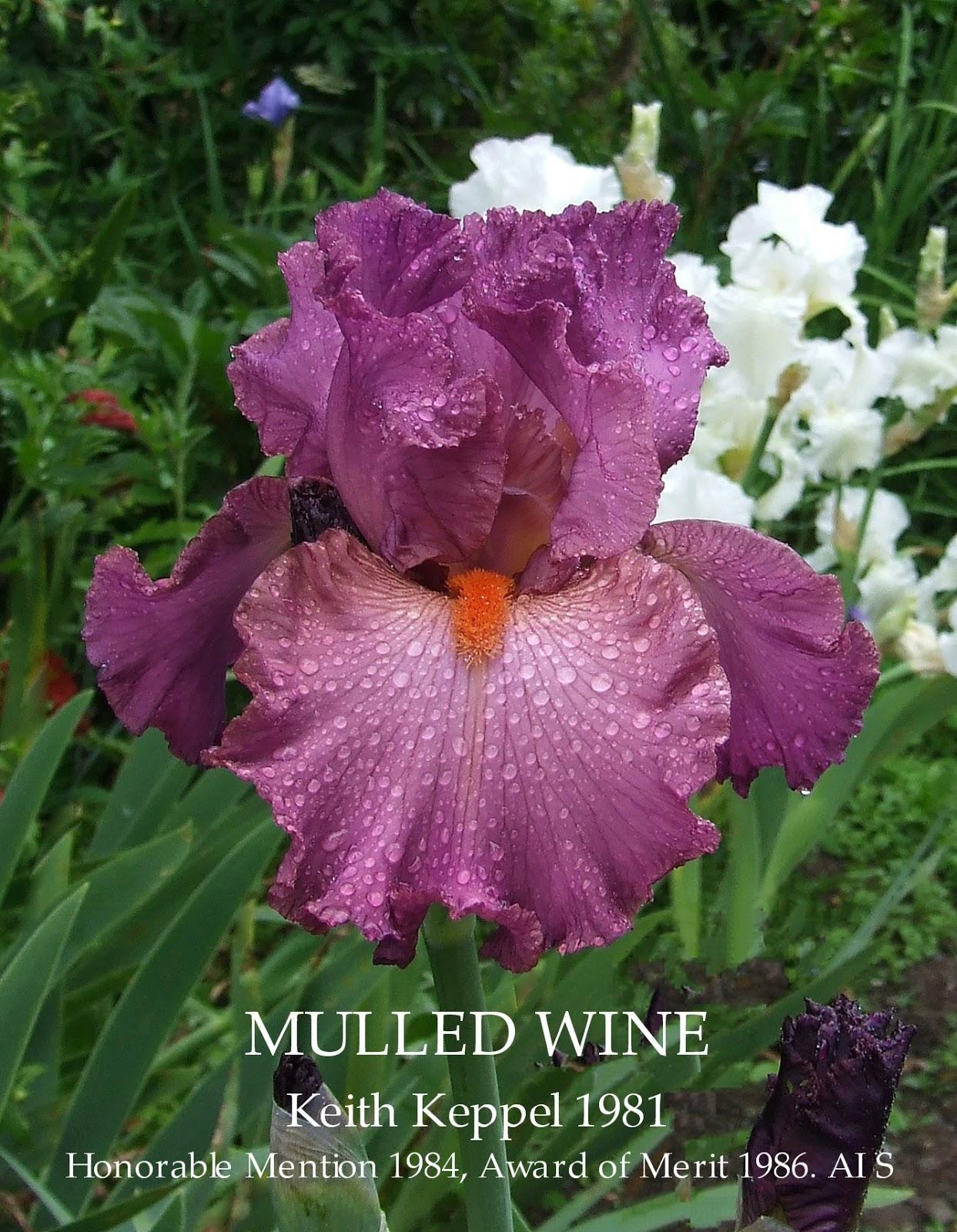 Tall Bearded Iris Mulled Wine Heritage Irises