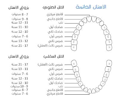 بزوغ الأسنان الدائمة
