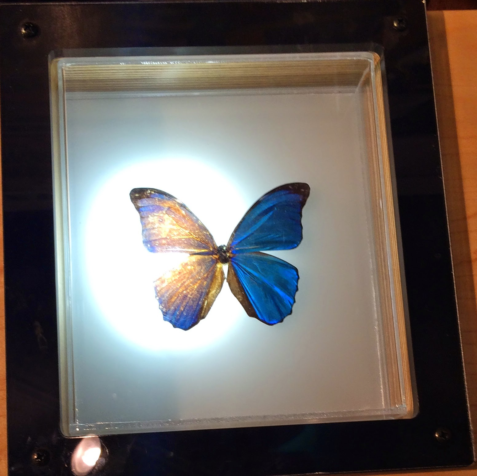 Blue Morpho Butterfly Nano Particles - with light