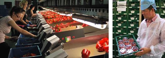 Verpackung von Tomaten und Paprika