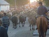 Een mooie ervaring in Armenië was, dat we op een zeker moment in een kudde van wel 500 koeien terecht kwamen.