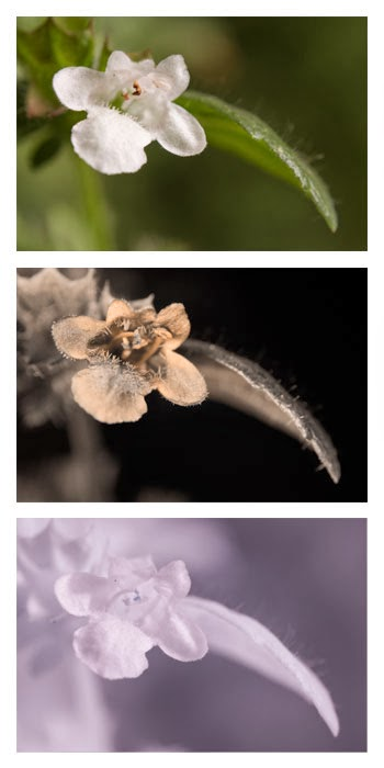 Comparison of a Melissa officinalis (Lemon Balm) flower photographed in visible light (top), ultraviolet (middle), and infrared (bottom)