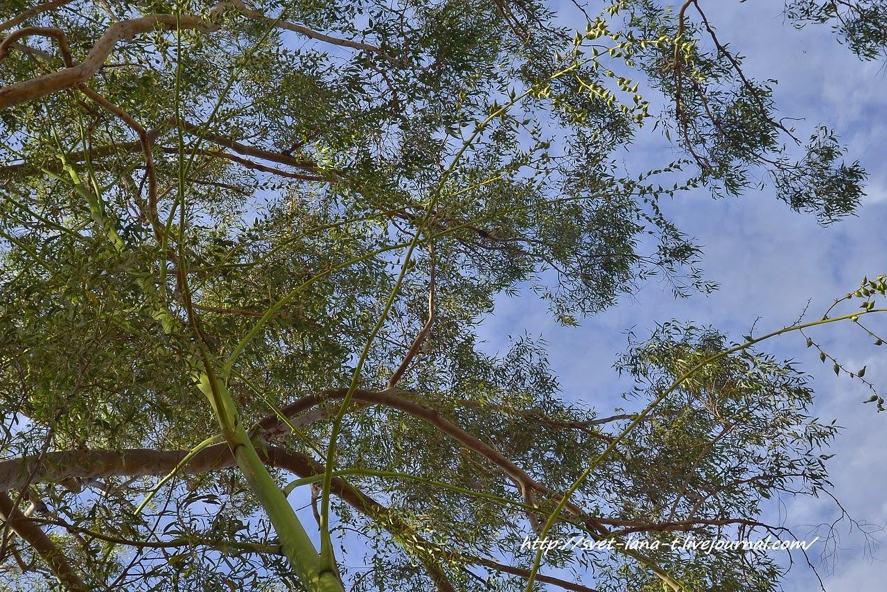 растение пучка фото