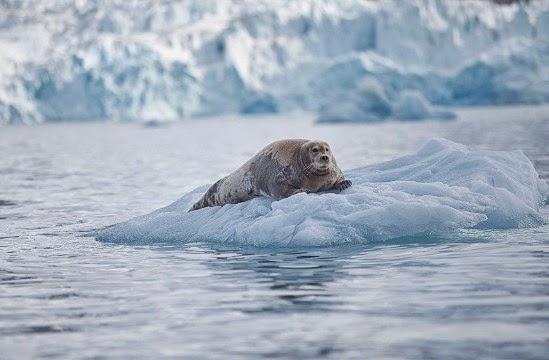 Nyanyian anjing laut