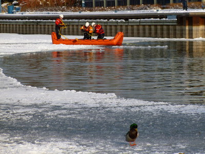 A Mallard Duck stands on river ice, Port Credit Marina Park, ignoring three firemen and a rescue boat, part of a training exercise.
