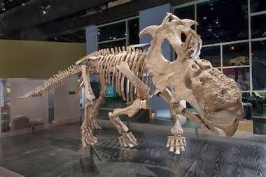 pachyrhinosaurus skull  pachyrhinosaurus lakusai skeletal mount...