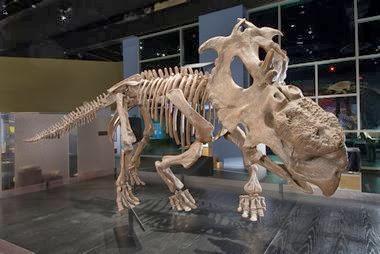 pachyrhinosaurus  pachyrhinosaurus lakusai skeletal mount...