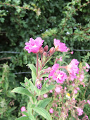 Great hairy willow herb Epilobium hirsutum 2011/116