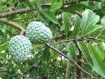 manfaat buah srikaya, khasiat buah srikaya, budidaya tanaman srikaya, buah srikaya, tanaman srikaya, khasiat buah srikaya