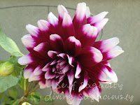 purple and white dahlia flowers
