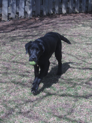 Black lab puppy Romero, looking very puppyish in this picture, is trotting along in the backyard with a dirty green tennis ball in his mouth. He is very content, with his ears perked up, his tail waving, and his left paw stretched forward as he brings the ball back. The grass is just starting to turn green, but at the moment is mostly a pretty dull brown. The sun is out, and bare tree branches are casting shadows all over the lawn. Behind Romero you can see the bottom of a wooden fence enclosing the backyard.
