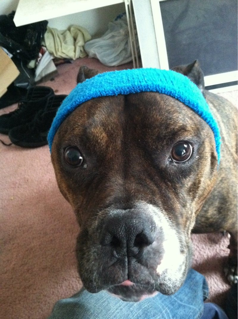 funny animals, animal pictures, dog wears headband
