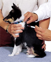 Cần bảo vệ sức khỏe cho chó bằng việc  thăm khám và tiêm vaccin định kỳ.