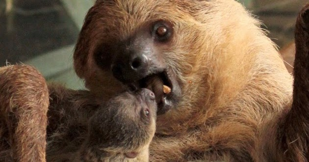 White Wolf : First Ever Baby Sloth Born at London Zoo Is ...