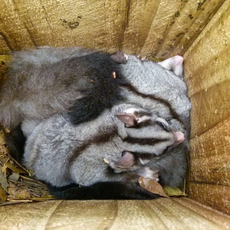 Squirrel Gliders in  Nestbox