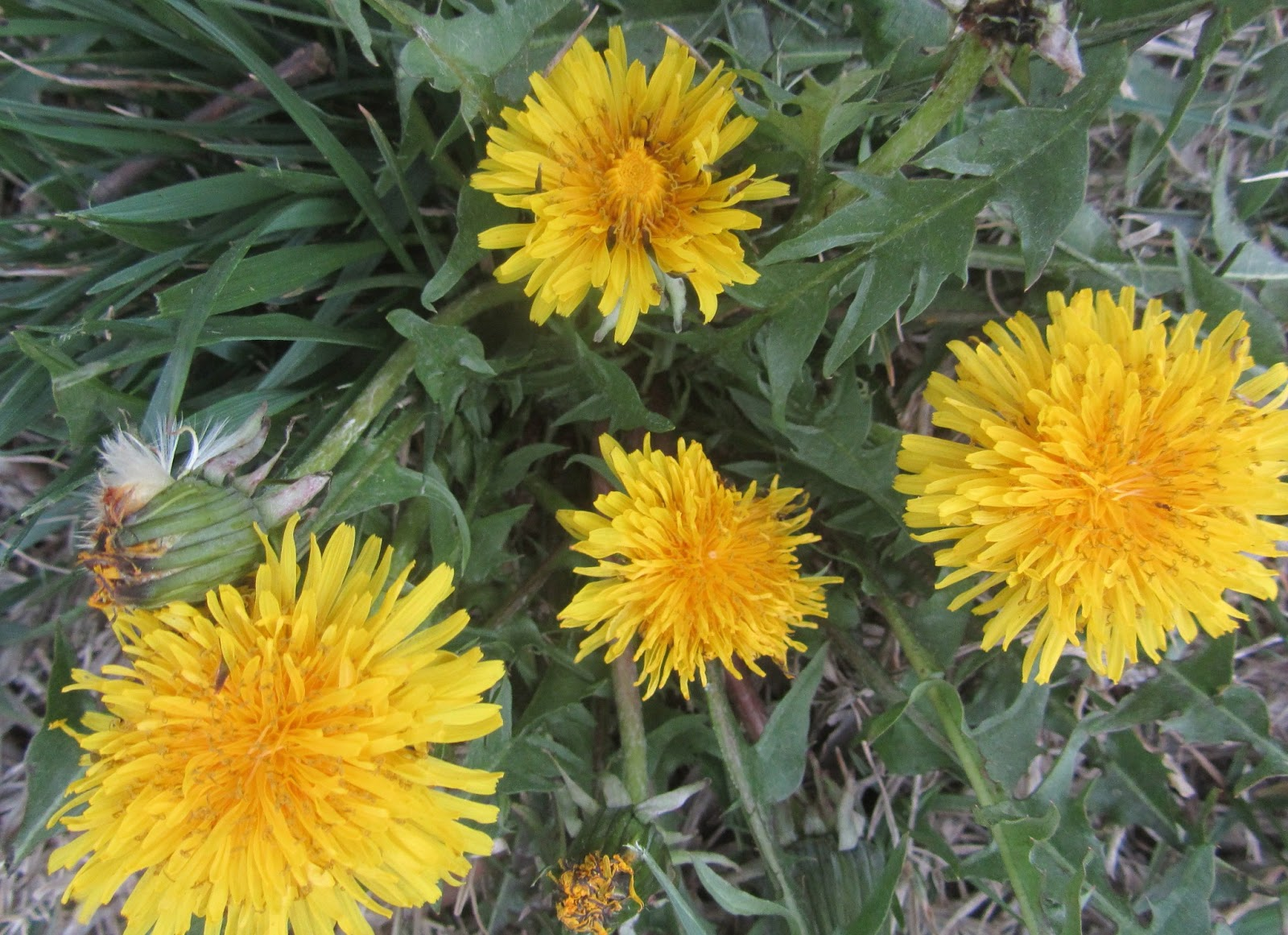 Lizziekate blog think deeply about those prettypesky yellow flowers bad yellows are dotting my entire yard and flower beds bad yellows are otherwise known as dandelions they are flourishing mightylinksfo