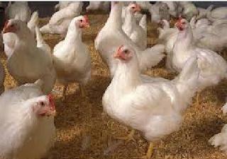 Cara Ternak Ayam Potong Cepat Hasil