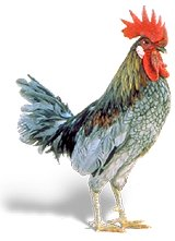 A painting of a cock
