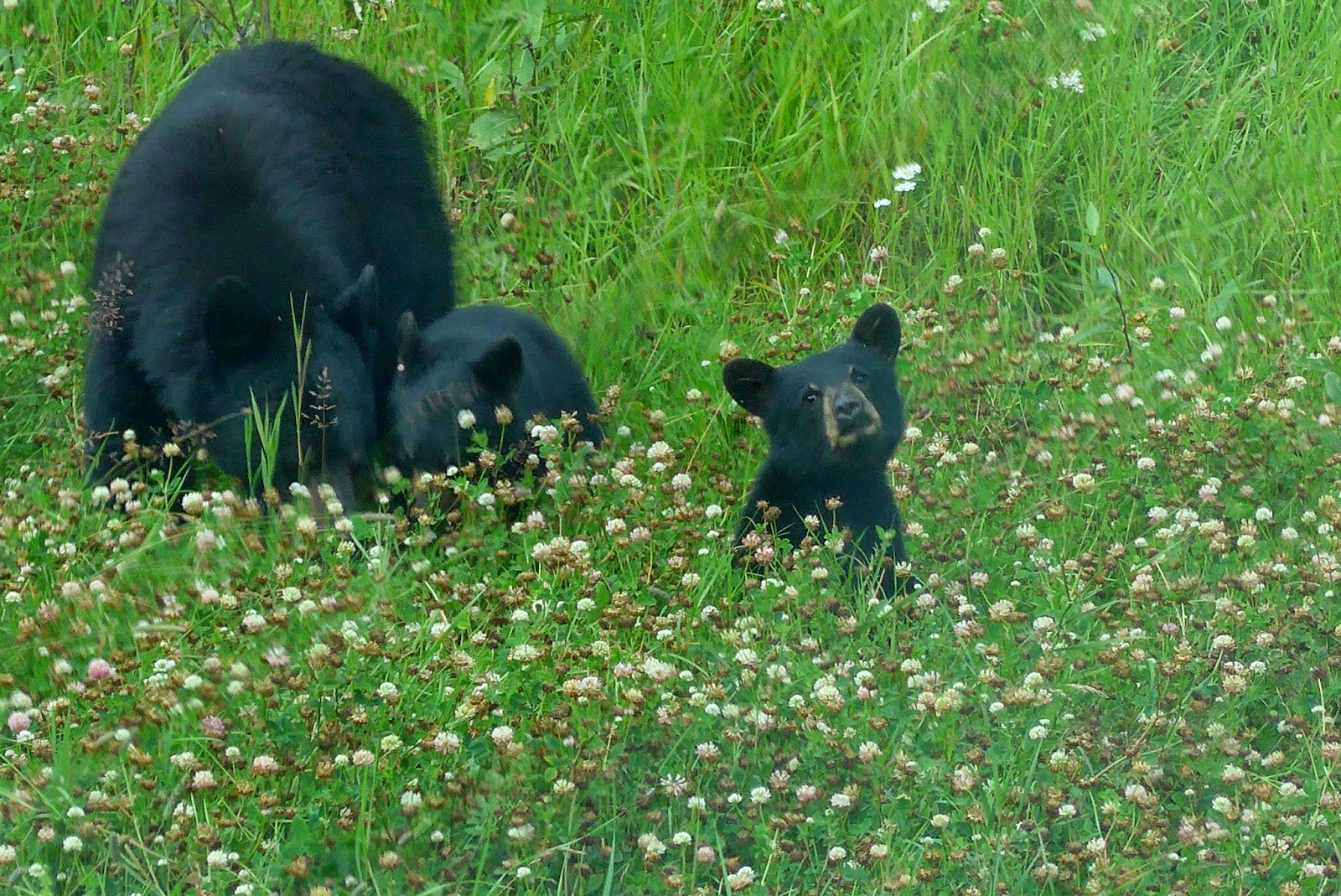 Mama Bear and two cubs.