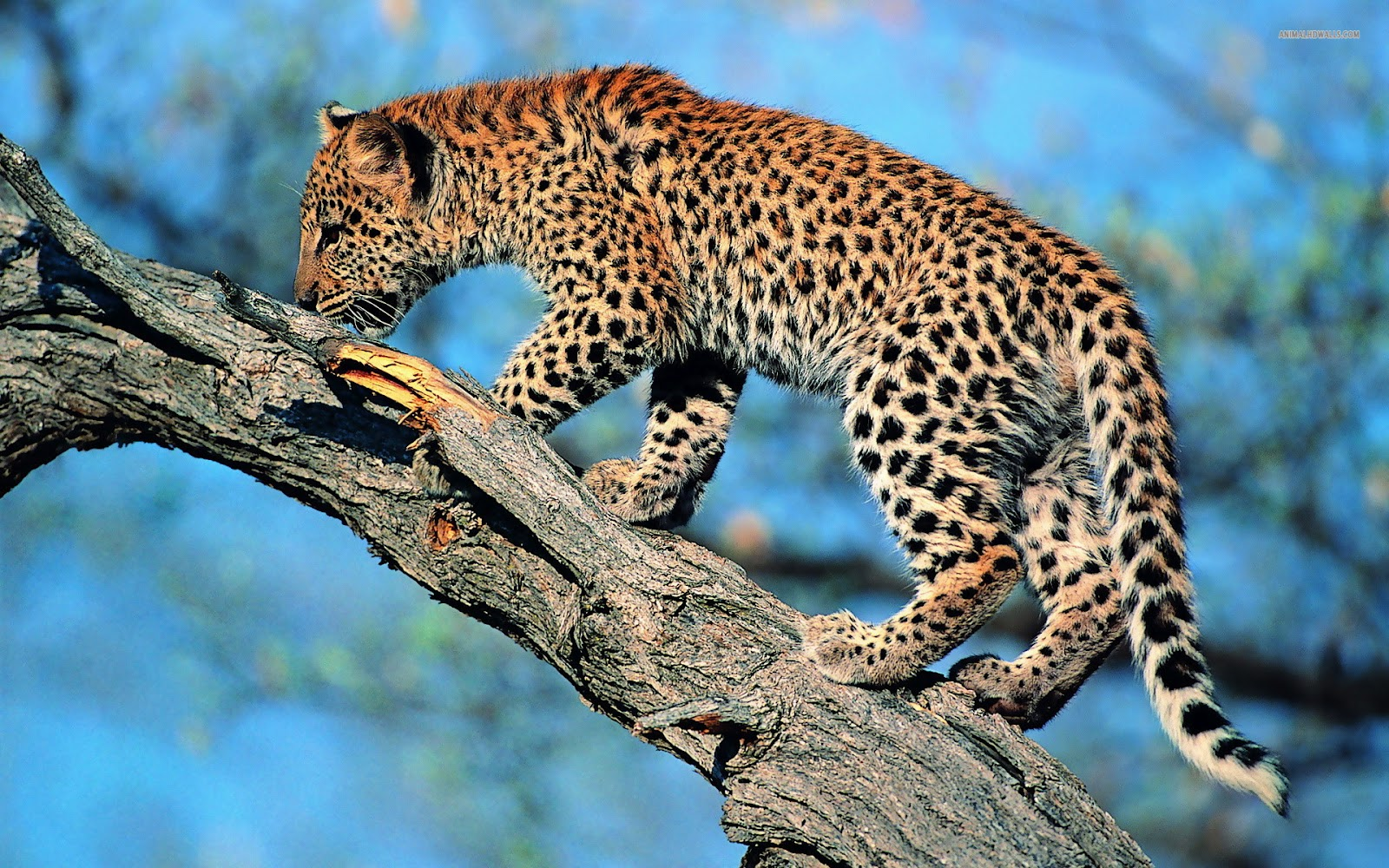 Leopard Latest New Hd Wallpapers 2012 Wallpapers World