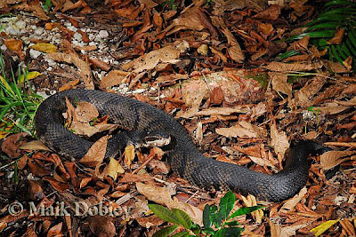 serpiente acuatica Agkistrodon pisicivorus
