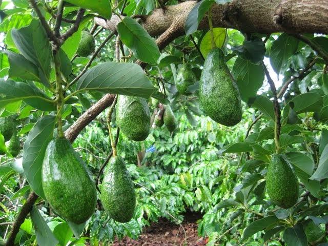 Dak Lak Avocado Fruits (Bơ Dak Lak)3
