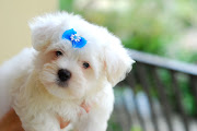Maltese Puppy Picture. The maltese moves with gait, cheerfully swish, .