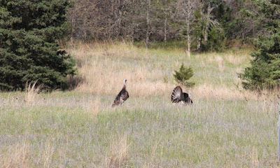 back yard turkeys