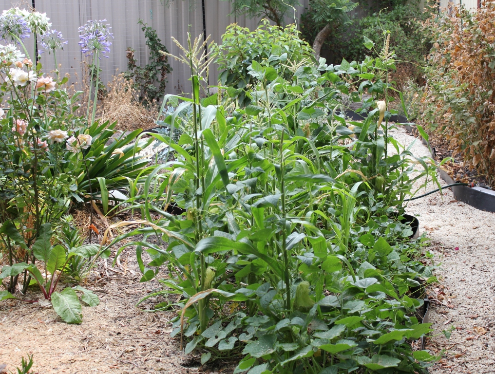 Beans Planted With Corn i Planted Out my Corn And Bean