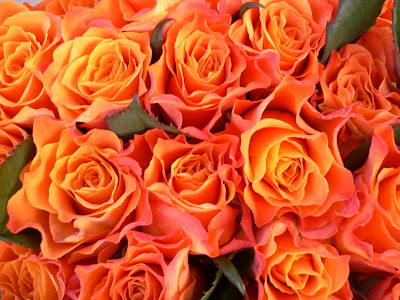 orange roses flowers