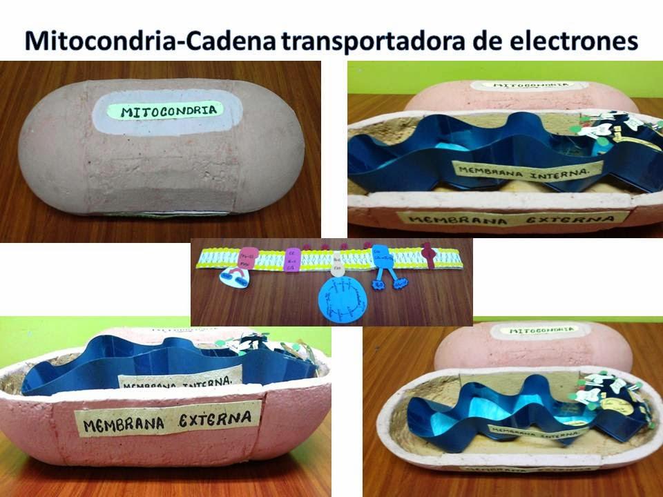 Biologia Celular: Fotos: Maqueta METABOLISMO.