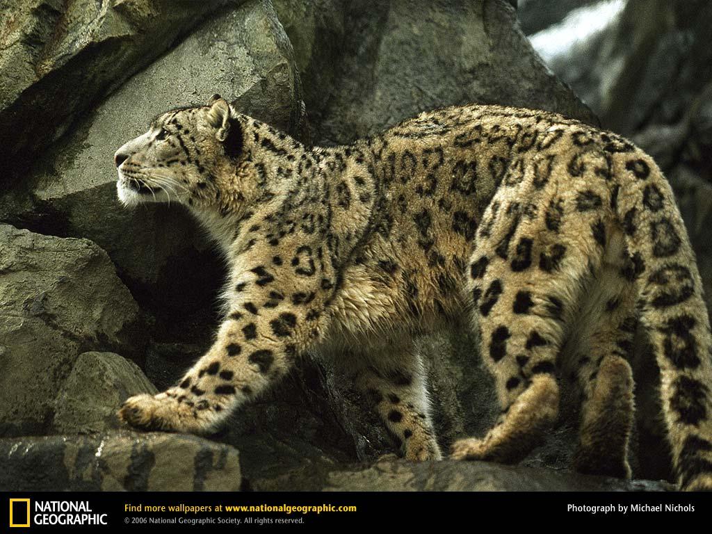 La Imagen de la Semana: Leopardo de las nieves   Biosionarios