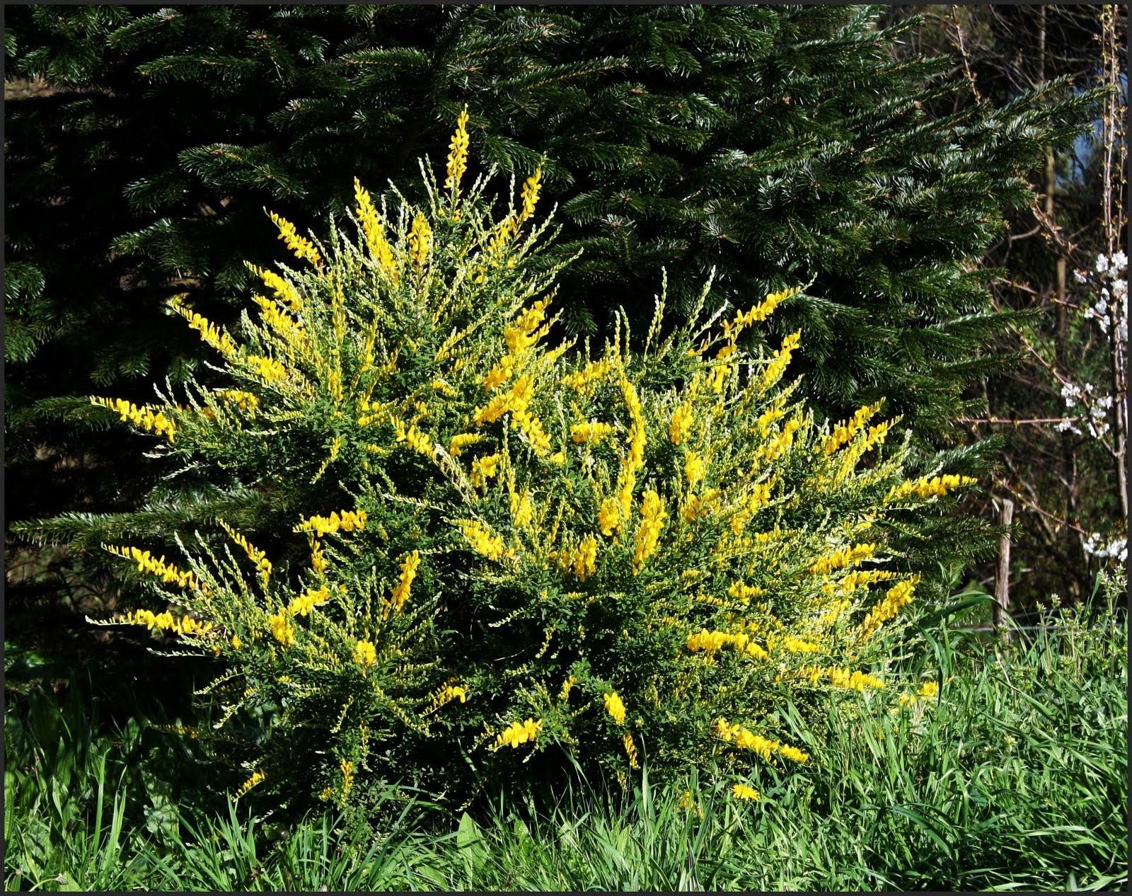 El jard n de margarita arbustos de aroma alimonado las for Arbusto de jardin