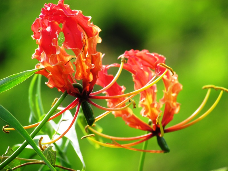 State Flower Of Tamil Nadu And National Zimbabwe There Is A Postal Stamp Issued By The Department India For This