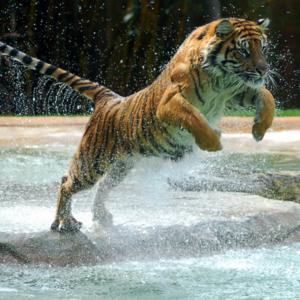Essere presenti, qui ed ora, è come essere una tigre come questa.