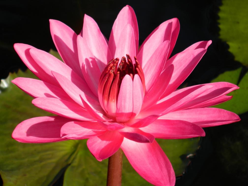 Nymphae tropical waterlily Brazilian Garden Naples Botanical Garden by garden muses-a Toronto gardening blog