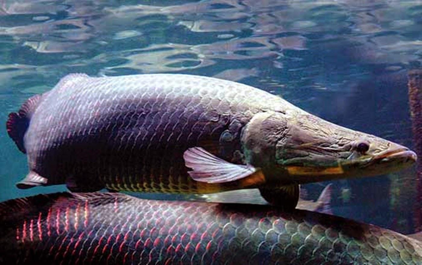 Peixe gigante da Amazônia enfrenta a extinção