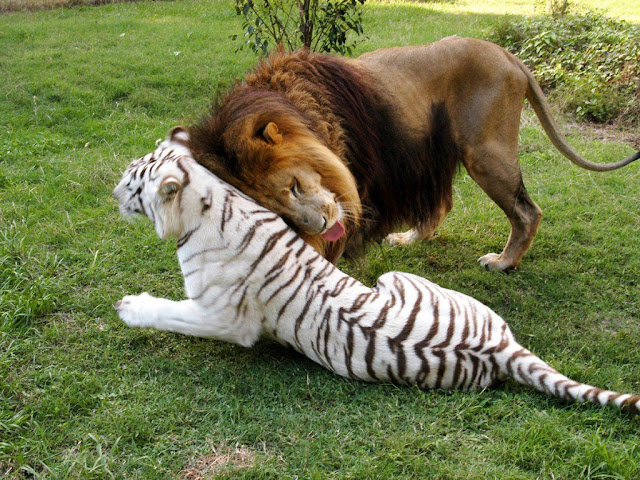 lion and white tiger, funny animal pictures, animal pics