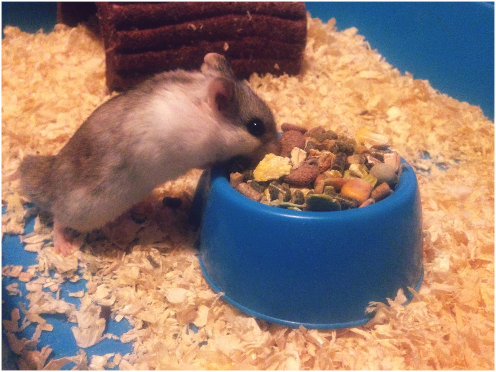 hamster, pet, food, eating, cheeks, rodent, parent blogger, photography, photo,